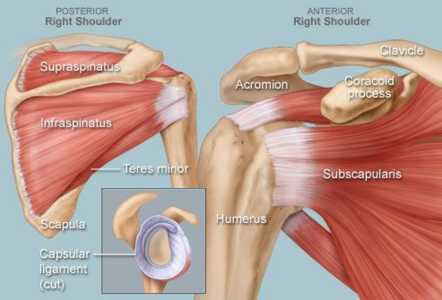 Anatomical diagram of the rotator cuff muscles of the shoulder
